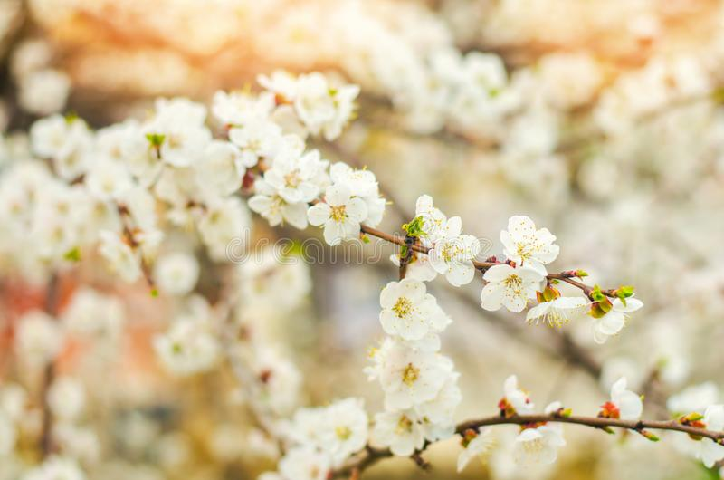 Cherry blossom on a sunny day, the arrival of spring, the blossoming of trees, buds on a tree, natural wallpaper royalty free stock photo