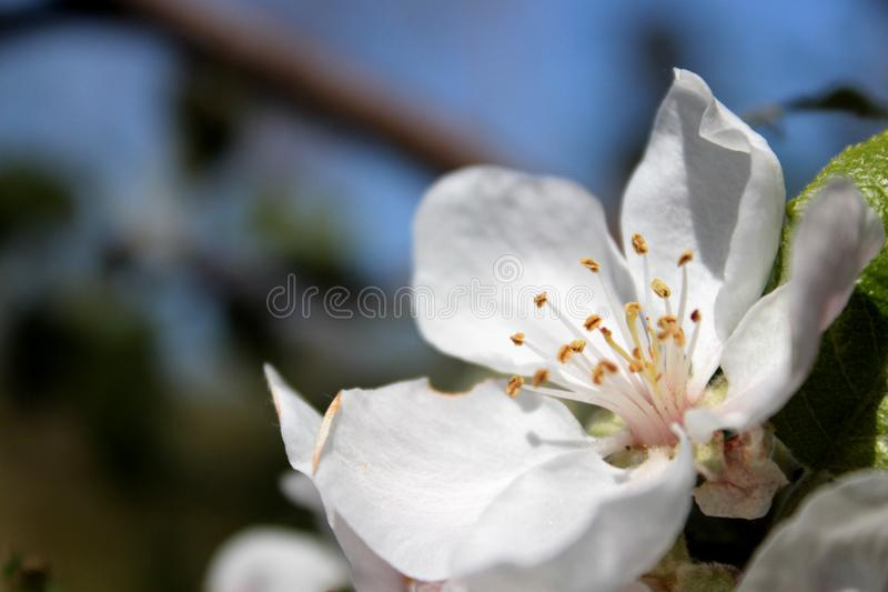 Cherry Blossom On Sunny Fall Day imagem de stock royalty free