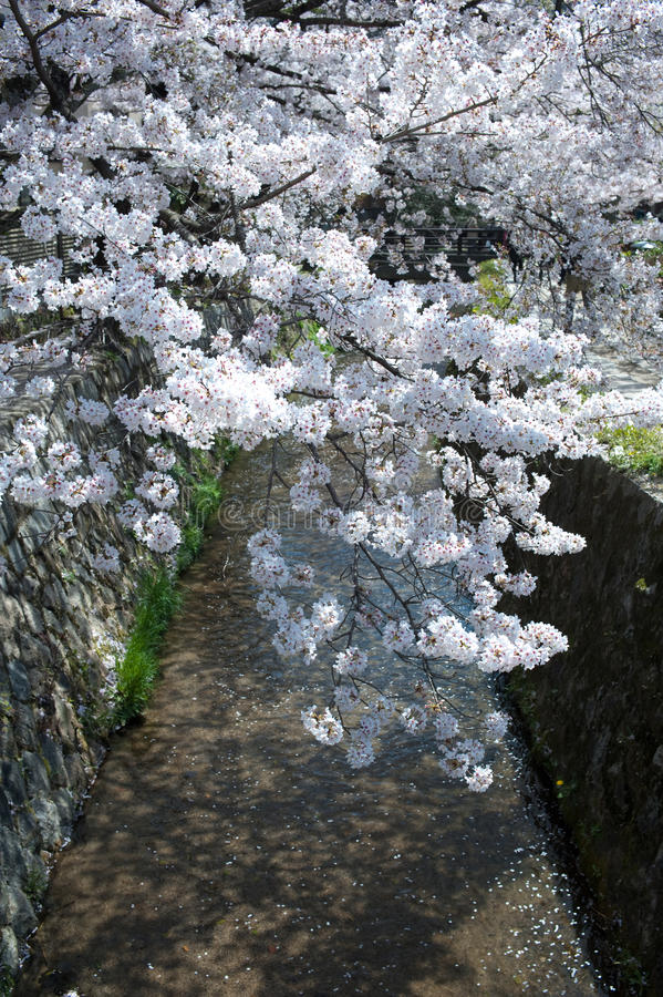 Download Cherry Blossom Time In Japan Royalty Free Stock Images - Image: 19146839