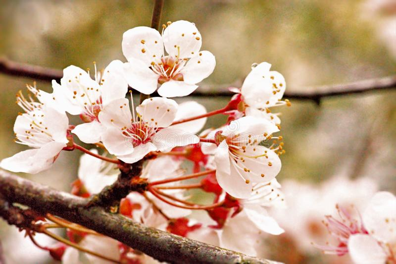 Cherry Blossom Time - Wild Cherry Blossom Flowering In Spring Sunshine royalty free stock photo
