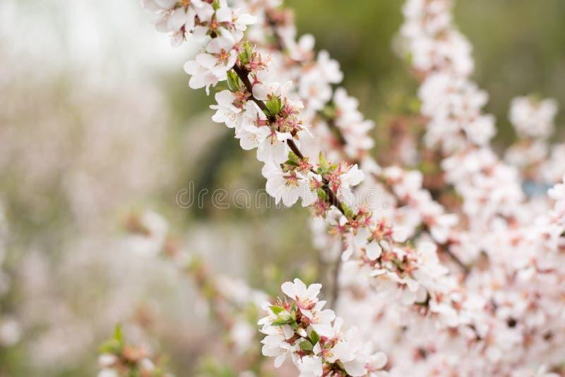 Cherry Blossom träd, naturtidbakgrund Rosa vita Sakura blommor arkivbilder