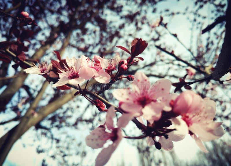 Cherry Blossom Tree fotografie stock libere da diritti