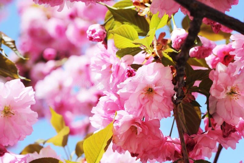 Cherry Blossom Tree immagine stock