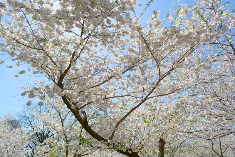 Cherry Blossom Tree fotografering för bildbyråer