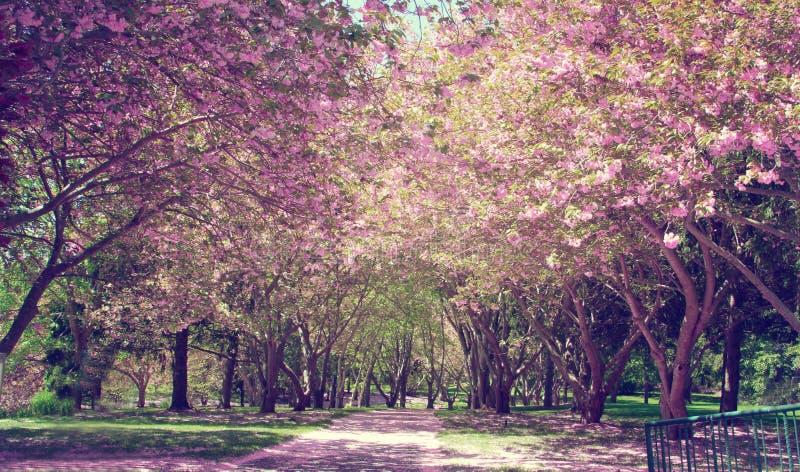 Cherry Blossom Tree fotografía de archivo