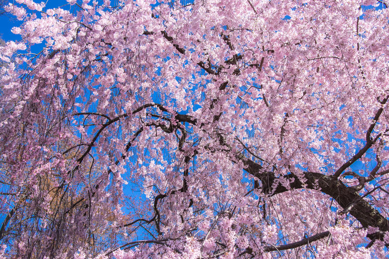Cherry Blossom tree. Blooming cherry blossom tree in blue sky background, National Mall, Washington D.C., US stock photography