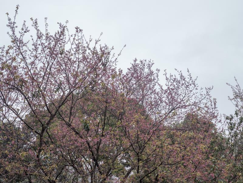 Cherry blossom tree is blooming with the light fog royalty free stock photo