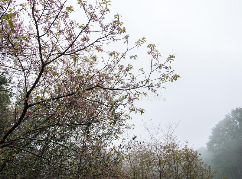 Cherry blossom tree is blooming with the light fog royalty free stock photos