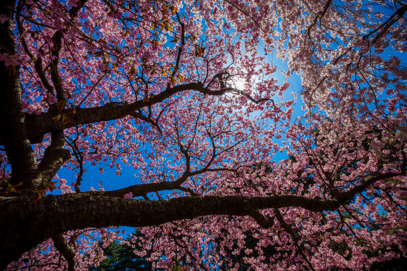 Cherry Blossom Tree. Blooming Cherry Blossom Tree in Spring stock images