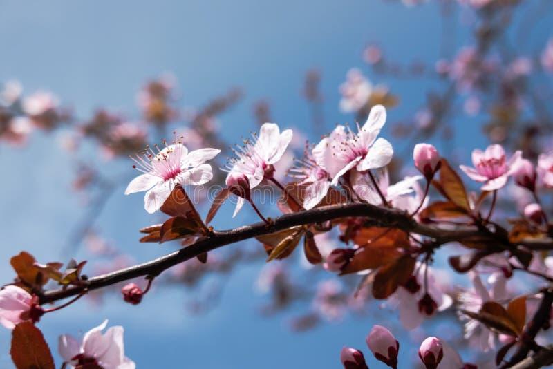 Cherry Blossom Tree bonito no tempo de mola sobre o c?u azul Teste padr?o da natureza Bokeh fotos de stock royalty free