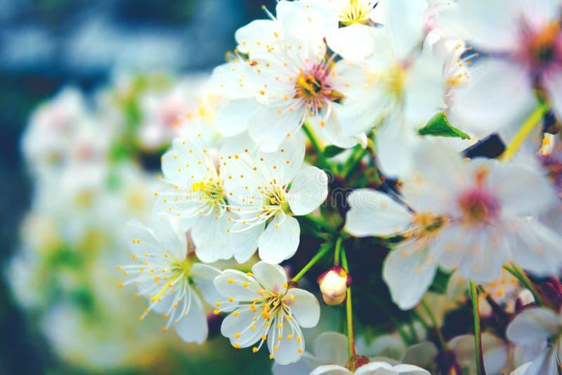 Cherry blossom tree stock image. Image of design, bloom - 111251207