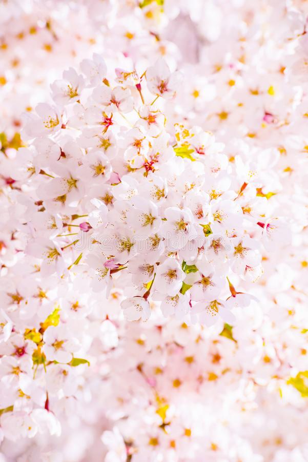 Cherry blossom tree detail, pink bloom background. Cherry blossom tree in bloom flowering macro detail, pink and white background royalty free stock photo