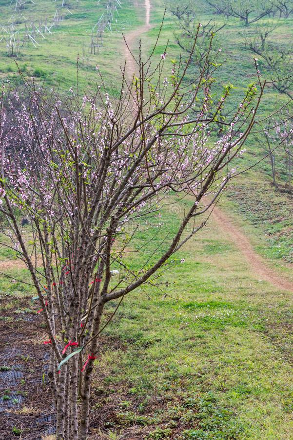 Cherry blossom tree on the hill. royalty free stock photography