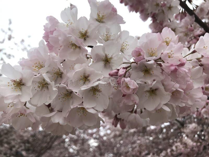 Cherry Blossom Tree i DC royaltyfria foton