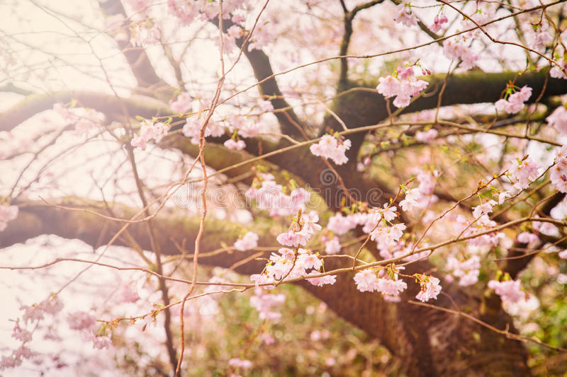 Cherry blossom tree. Image of a flowering cherry blossom tree stock photo