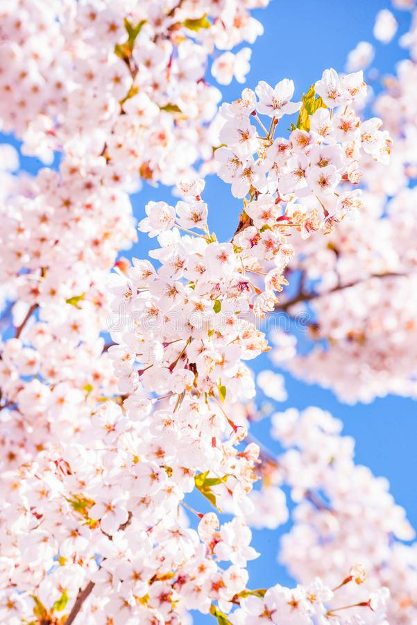 Cherry blossom tree detail, pink and blue background. Cherry blossom tree macro detail with a little sky, pink and blue background royalty free stock photo