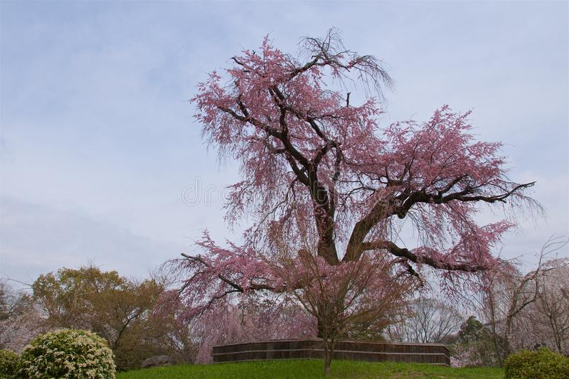 Cherry blossom tree in Maruyama Park in Gion, Kyoto royalty free stock images