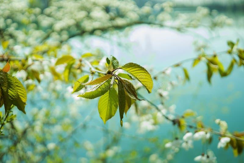 Cherry Blossom Tree Near Lake in Close Up Photography stock photo