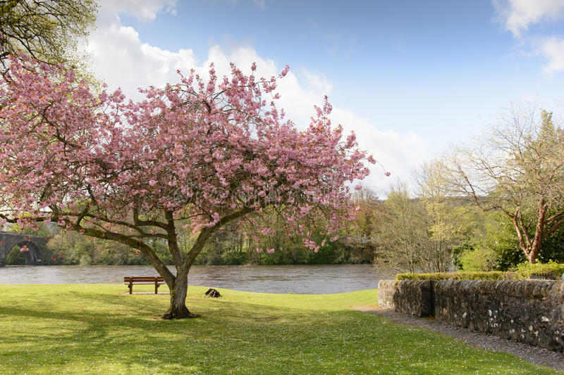 Cherry blossom tree. On the riverside stock photography