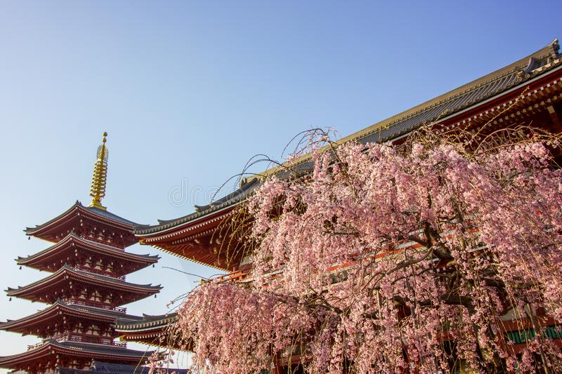 Three symbols of Japan, Cherry Blossom tree, Temple and Progoda. Traditional pink cherry blossom tree, in front of the temple and a 5 level Pagoda in the heart stock photos