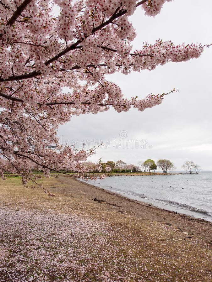 Cherry blossom trees along Lake Biwa, vertical orientation, Nagahama, Japan stock photo