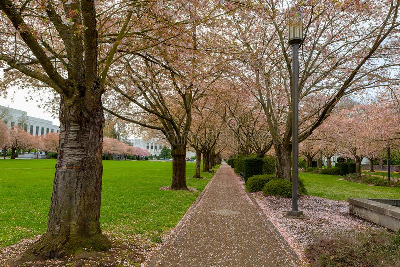 Cherry Blossom Trees along Path at Park in Salem Oregon royalty free stock images