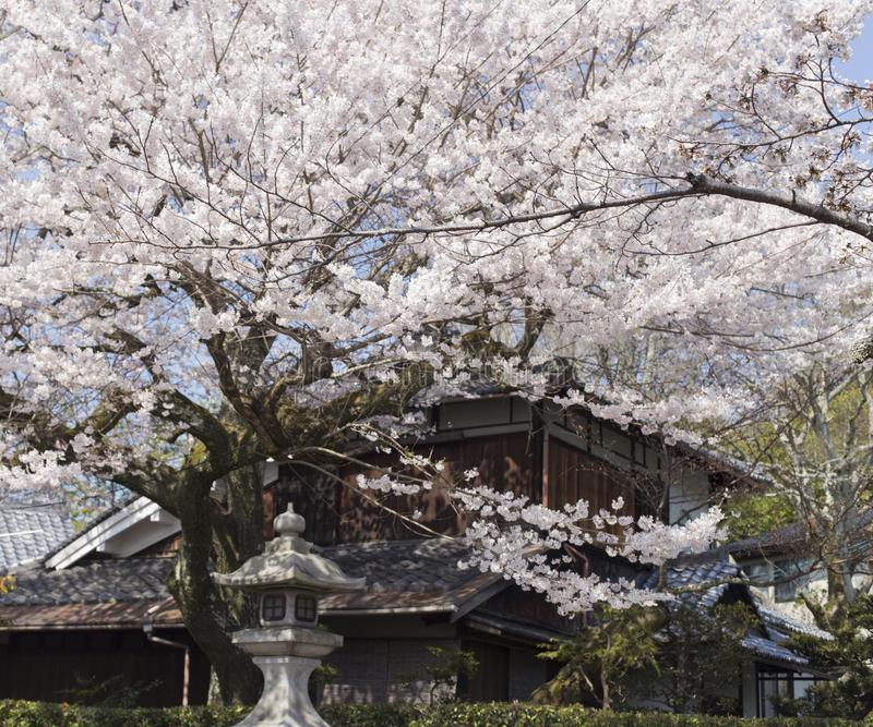 Cherry Blossom Trees along of Philosophe`s path in Kyoto for backgrounds stock photography