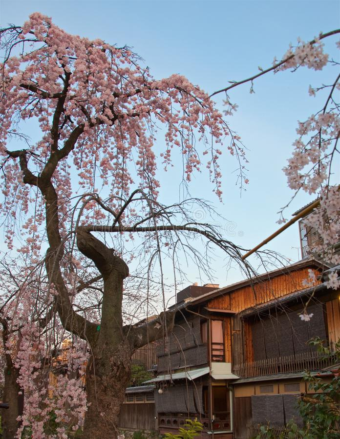 Cherry blossom trees along Shirakawa Canal and tea houses in Gion district, Kyoto royalty free stock photos