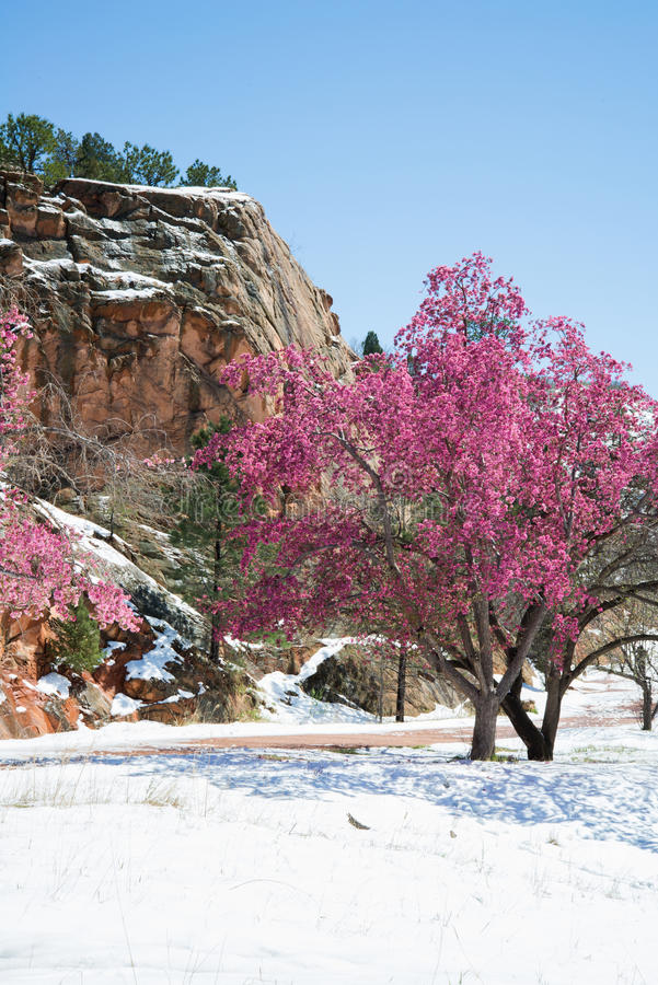 Free Cherry Blossom Trees At Red Rock Canyon Open Space Colorado Springs Stock Photos - 95856823