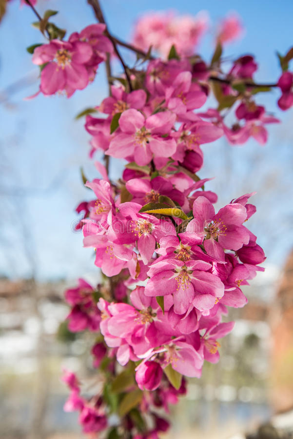 Free Cherry Blossom Trees At Red Rock Canyon Open Space Colorado Springs Royalty Free Stock Photo - 96693645