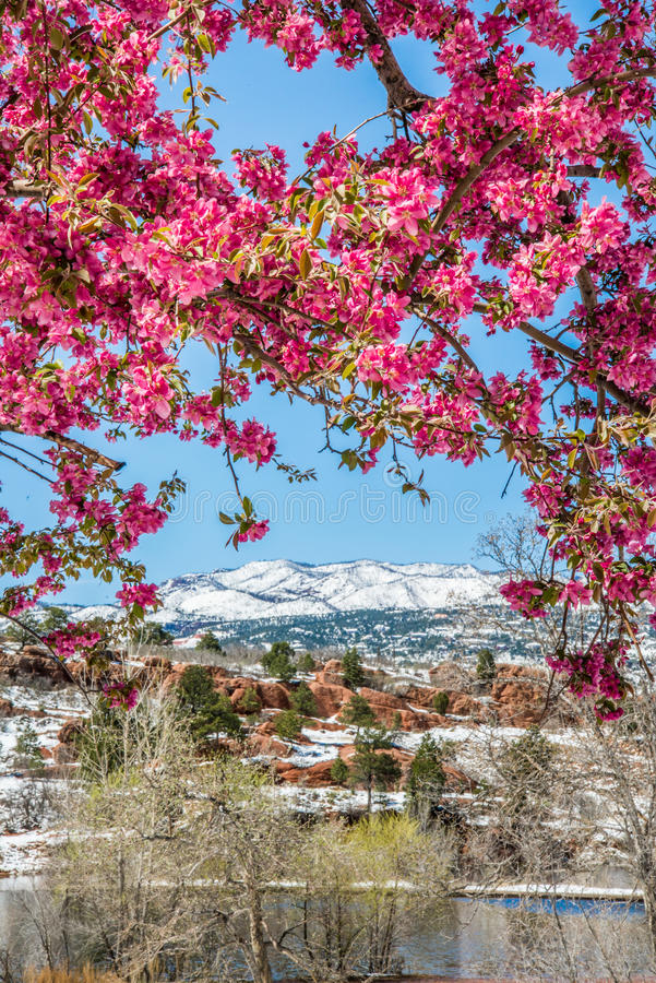 Free Cherry Blossom Trees At Red Rock Canyon Open Space Colorado Springs Royalty Free Stock Images - 98513629