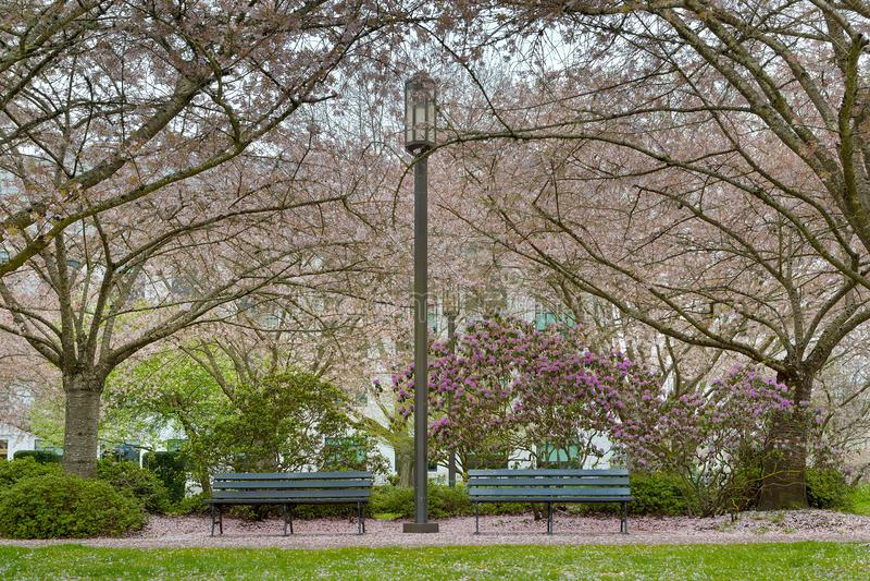 Cherry Blossom Trees au parc en Salem Oregon images stock