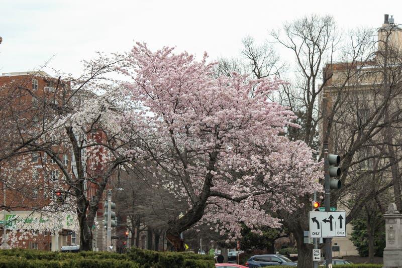 Cherry Blossom Trees, Knoppen, Bladeren royalty-vrije stock fotografie