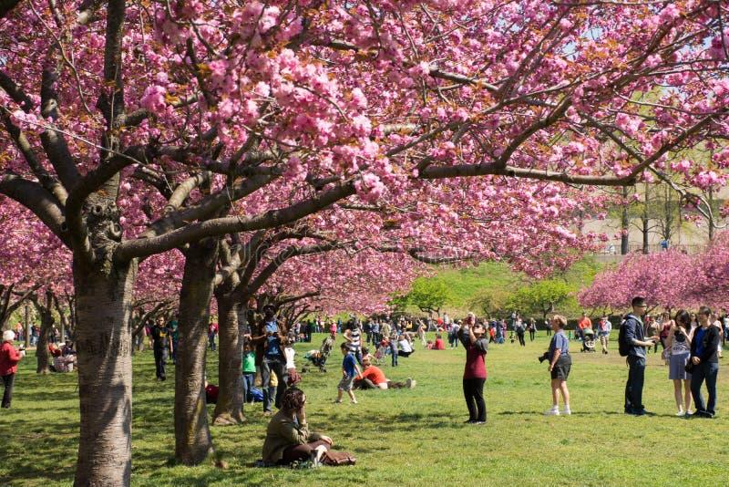 Cherry blossom trees lined at brooklyn botanical g - New york botanical garden parking ...