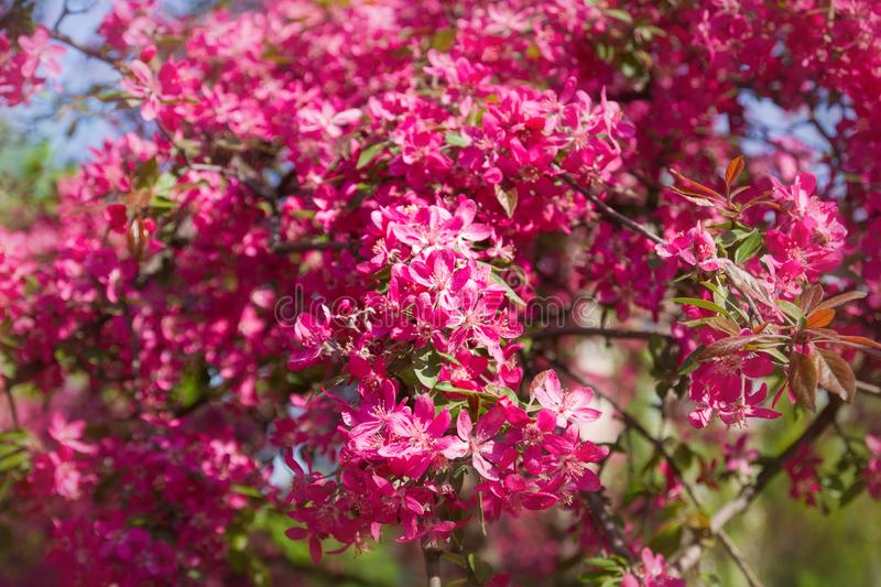 Cherry blossom trees, nature and spring background. Pink flowers. Flower landscape, blurred. stock photography