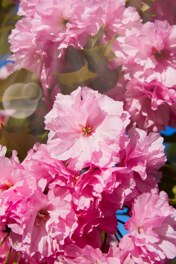 Cherry blossom trees, nature and spring background. Pink sakura flowers, blurred. stock photography