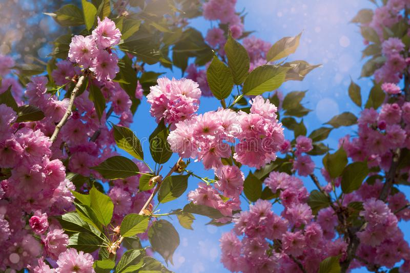 Cherry blossom trees, nature and spring background. Pink sakura flowers. Flower landscape, blurred. stock photo