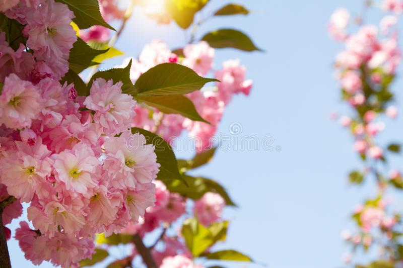 Cherry blossom trees, nature and spring background. Pink sakura flowers. Flower landscape, blurred. royalty free stock photography