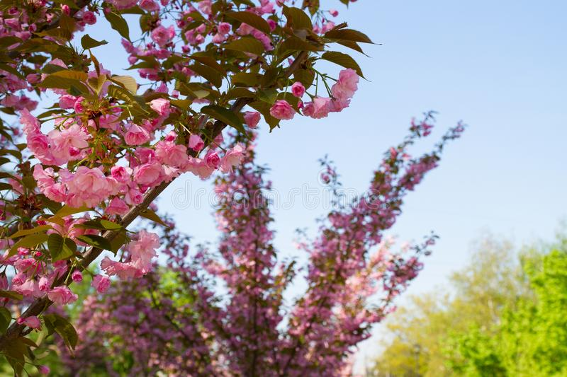 Cherry blossom trees, nature and spring background. Pink sakura flowers. Flower landscape, blurred. stock photography