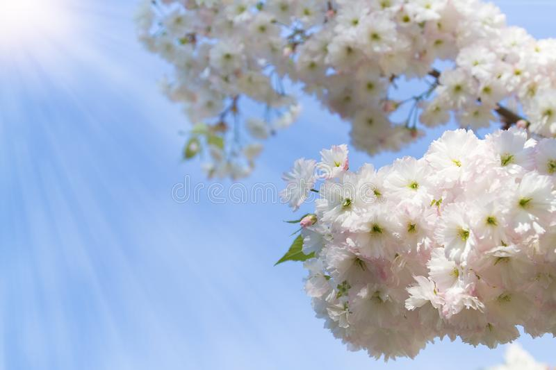Cherry blossom trees, nature and spring background. Pink sakura flowers. Flower landscape, blurred. royalty free stock photo