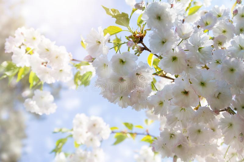 Cherry blossom trees, nature and spring background. White sakura flowers. Flower landscape, blurred. royalty free stock photo