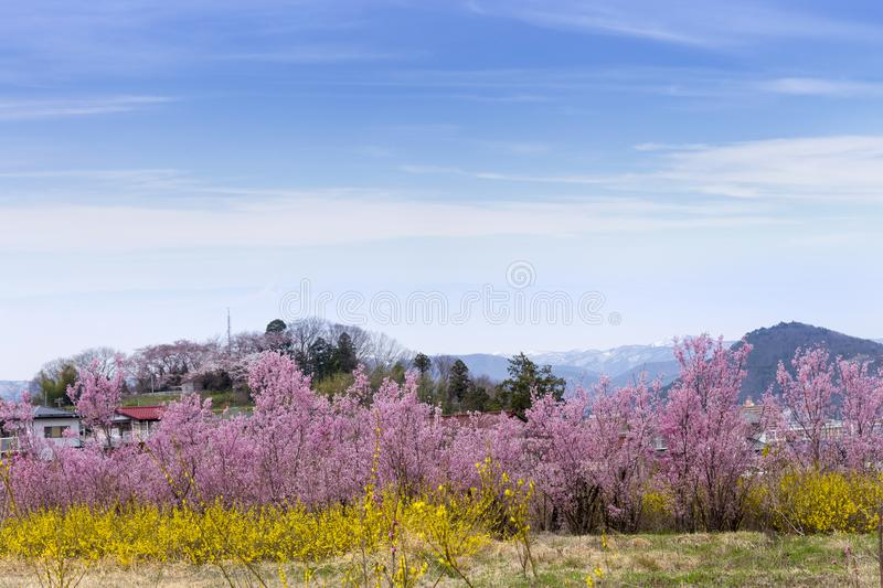 Cherry-blossom trees & x28;Sakura& x29; and many kinds of flowers in Hanam. Iyama park with clear blue sky background, Fukushima, Tohoku area, Japan. The park is stock photos