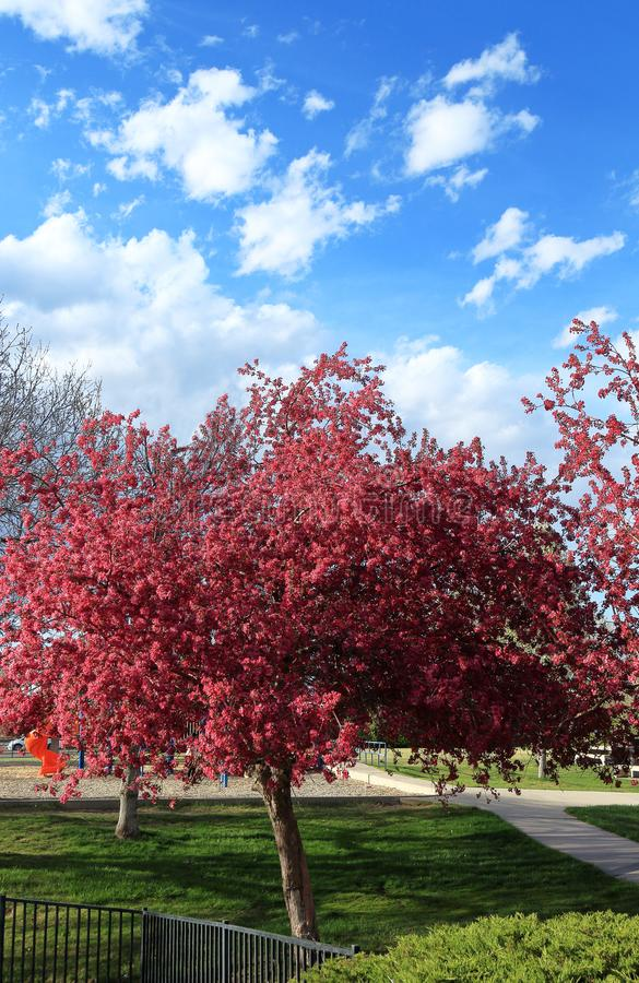 Cherry blossom trees in the small neighborhood park and playground. Aurora, Colorado, afternoon, springtime royalty free stock photos