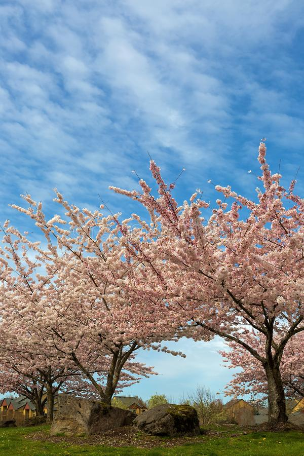 Cherry Blossom Trees in Suburban Residential Neighborhood. Cherry Blossom trees blooming in Village Green Park in Happy Valley Oregon suburban neighborhood stock image