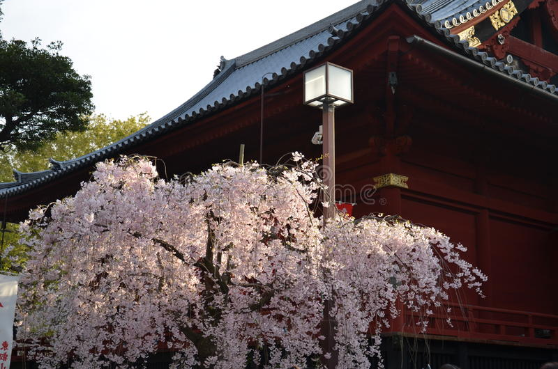 Cherry blossom at Ueno park royalty free stock photo