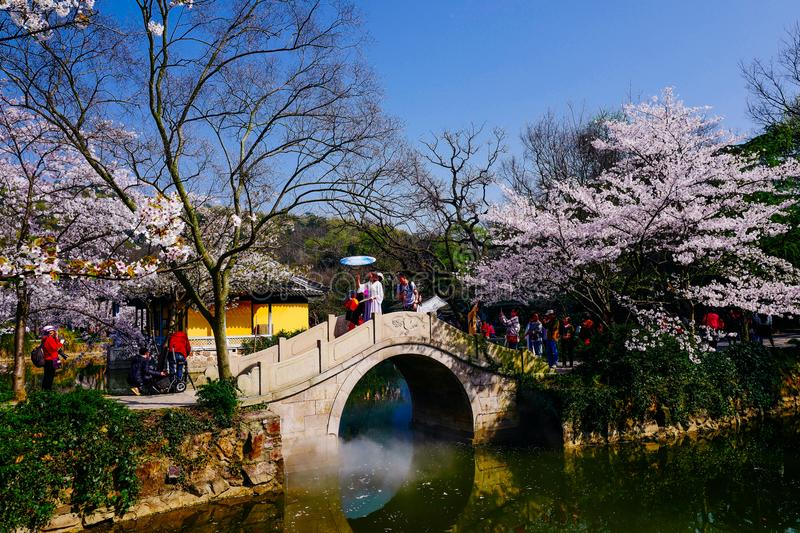 Cherry Blossom valley,wuxi,china royalty free stock photography