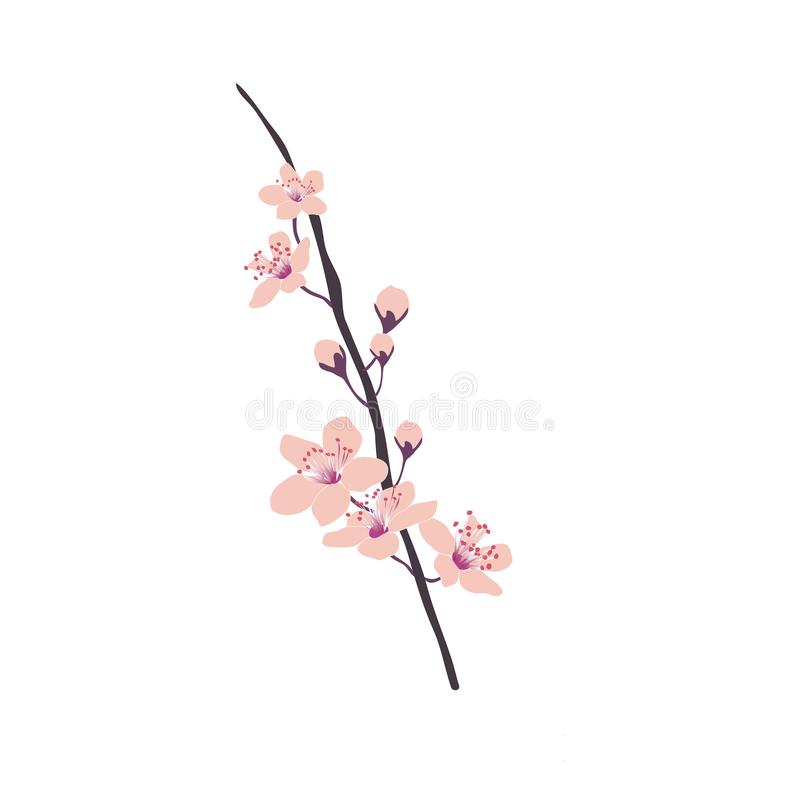 Cherry blossom vector drawing . vector illustration