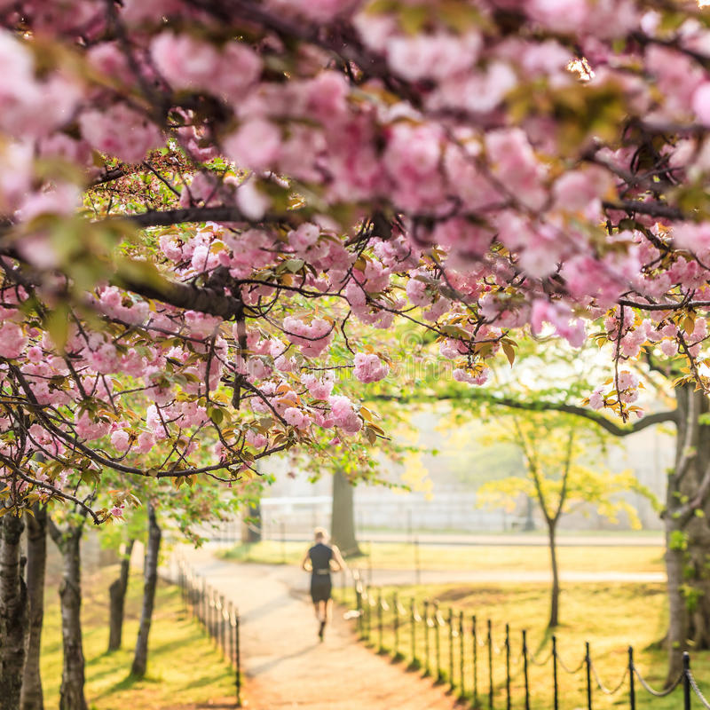Cherry Blossom. Washington, gelijkstroom stock foto's