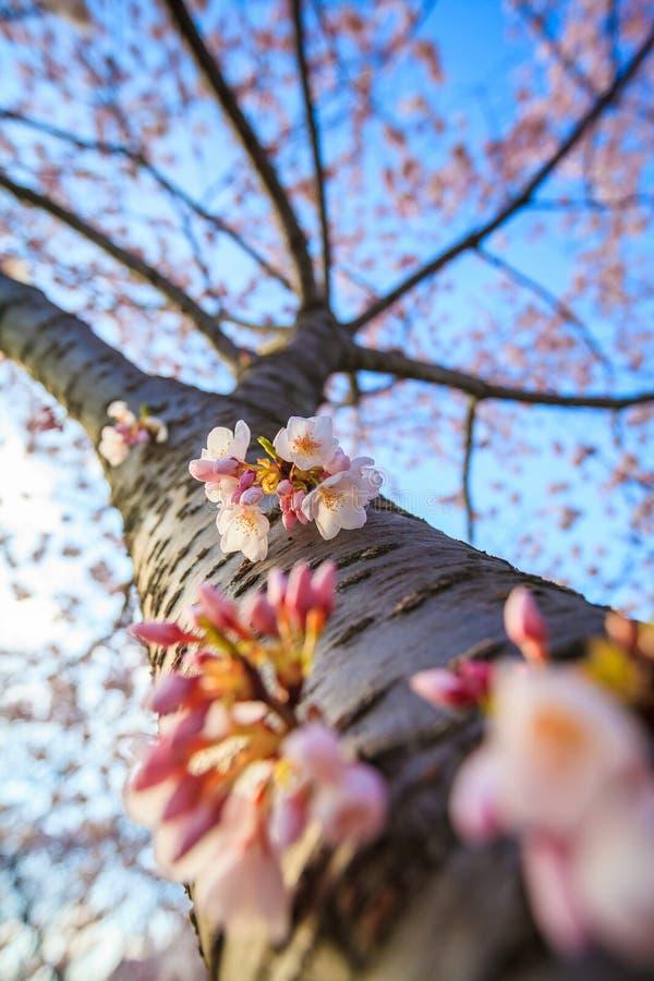 Cherry Blossom Washington, gelijkstroom royalty-vrije stock foto's