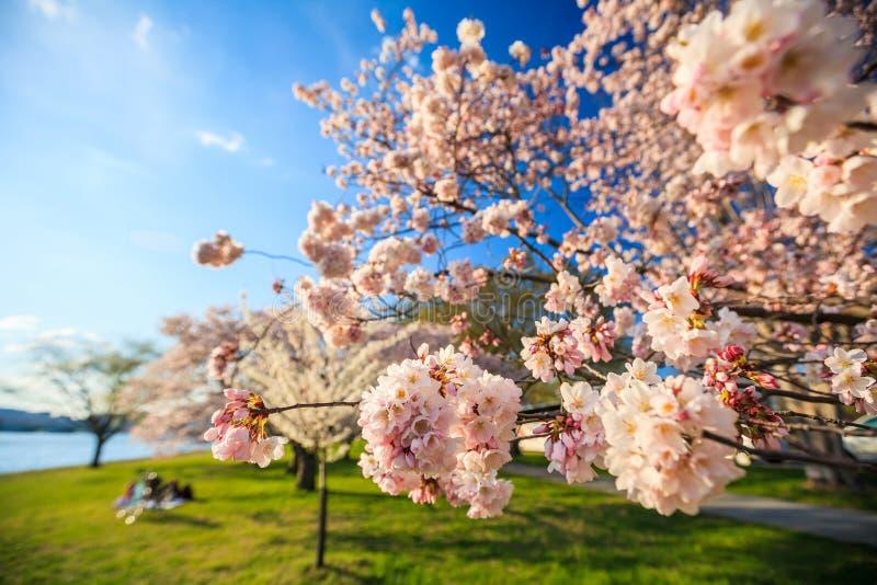 Cherry Blossom Washington, gelijkstroom stock foto's